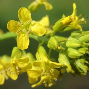 Photographie n°242800 du taxon Barbarea vulgaris R.Br.