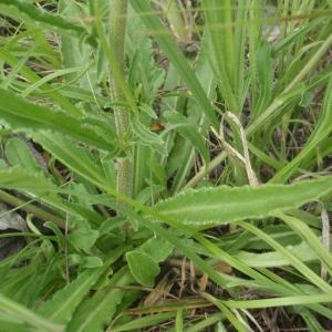 Photographie n°242924 du taxon Campanula sparsa