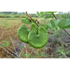 Machaerium lunatum (L. f.) Ducke