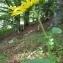 YANNICK DURAND - Doronicum austriacum Jacq. [1774]