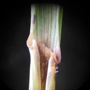 Photographie n°243179 du taxon Elytrigia campestris (Godr. & Gren.) Kerguélen ex Carreras [1986]