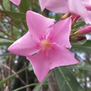 Photographie n°243217 du taxon Nerium oleander L. [1753]