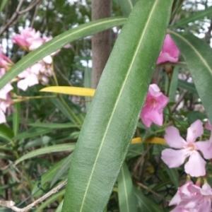 Photographie n°243218 du taxon Nerium oleander L. [1753]