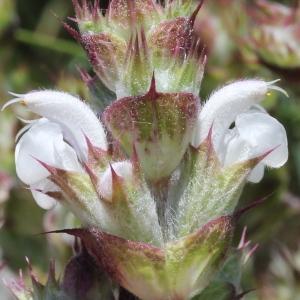 Salvia aethiopis L. (Sauge d'Éthiopie)