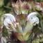 Marie  Portas - Salvia aethiopis L.