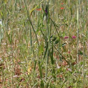 Photographie n°243284 du taxon Agrostemma githago L. [1753]