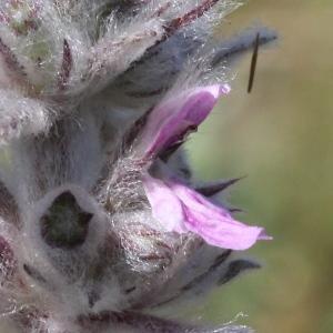 Stachys germanica L. (Épiaire blanche)