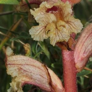 Photographie n°243319 du taxon Orobanche alba Stephan ex Willd.