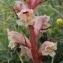 Marie  Portas - Orobanche alba Stephan ex Willd.