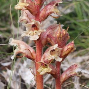 Photographie n°243339 du taxon Orobanche alba Stephan ex Willd.
