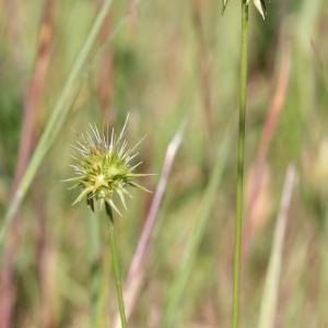Photographie n°243393 du taxon Echinaria capitata (L.) Desf. [1799]