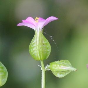 Geranium lucidum L. (Géranium luisant)