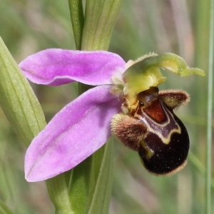 Photographie n°243466 du taxon Ophrys apifera Huds. [1762]