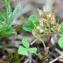Michaël KACZMAR - Trifolium glomeratum L. [1753]
