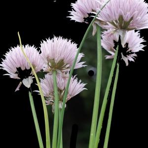 Photographie n°243731 du taxon Allium schoenoprasum L.
