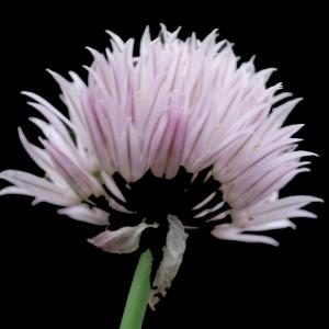 Photographie n°243732 du taxon Allium schoenoprasum L.