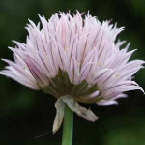 Photographie n°243733 du taxon Allium schoenoprasum L.