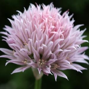 Photographie n°243734 du taxon Allium schoenoprasum L.