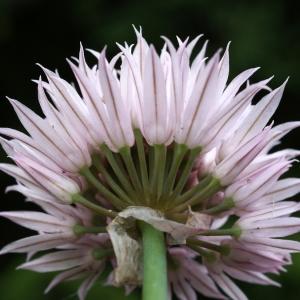 Photographie n°243736 du taxon Allium schoenoprasum L.