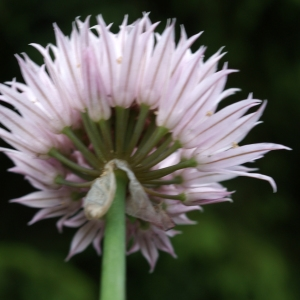 Photographie n°243737 du taxon Allium schoenoprasum L.