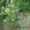 Liliane Roubaudi - Erucastrum gallicum (Willd.) O.E.Schulz