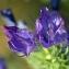 Patrice GIRAUDEAU - Echium vulgare L.