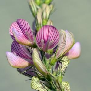 Onobrychis arenaria (Kit.) DC. (Esparcette des sables)