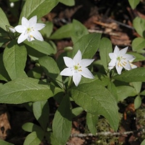 Photographie n°243839 du taxon Lysimachia europaea (L.) U.Manns & Anderb. [2009]