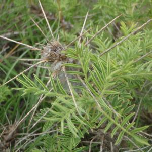 Photographie n°243855 du taxon Astragalus L.
