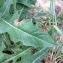 Pierre Bonnet - Cichorium intybus L. [1753]