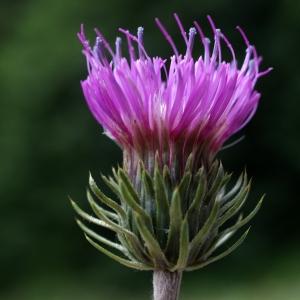 Carduus nigrescens Vill. (Chardon noircissant)