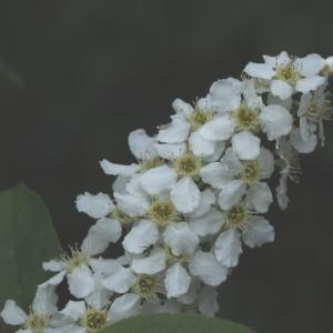 Prunus padus L. (Cerisier à grappes)