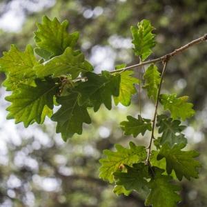 Photographie n°244073 du taxon Quercus pubescens Willd. [1805]