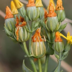 Blackstonia perfoliata (L.) Huds. (Blackstonie perfoliée)