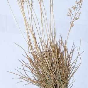 Photographie n°244302 du taxon Agrostis rupestris All. [1785]
