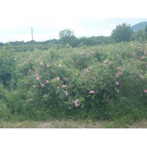 Rosa x damascena Mill. (Rosier de Damas)
