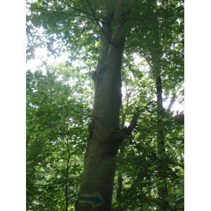 Fagus sylvatica subsp. orientalis (Lipsky) Greuter & Burdet (Hêtre d'Orient)