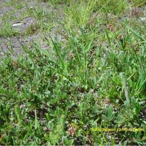 Photographie n°244560 du taxon Salix repens L. [1753]