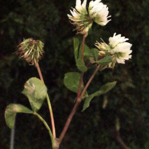 Photographie n°244749 du taxon Trifolium nigrescens Viv.