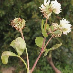 Photographie n°244750 du taxon Trifolium nigrescens Viv.