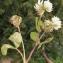 Liliane Roubaudi - Trifolium nigrescens Viv.