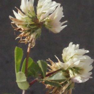 Photographie n°244751 du taxon Trifolium nigrescens Viv.