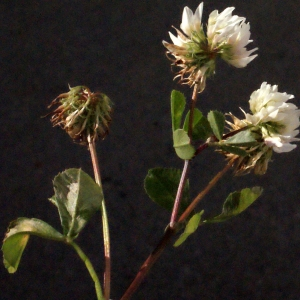 Photographie n°244752 du taxon Trifolium nigrescens Viv.