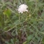 Alain Bigou - Cephalaria leucantha (L.) Schrad. ex Roem. & Schult.