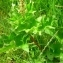YANNICK DURAND - Chenopodium bonus-henricus L. [1753]