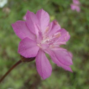 Photographie n°244922 du taxon Knautia L.