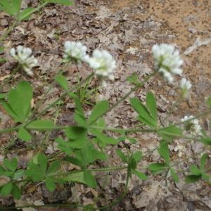 Photographie n°244959 du taxon Dorycnium herbaceum Vill. [1779]