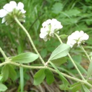 - Dorycnium herbaceum Vill. [1779]
