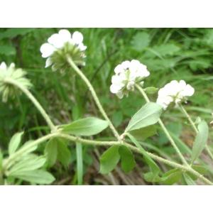 Dorycnium pentaphyllum subsp. herbaceum (Vill.) Bonnier & Layens (Dorycnie herbacée)