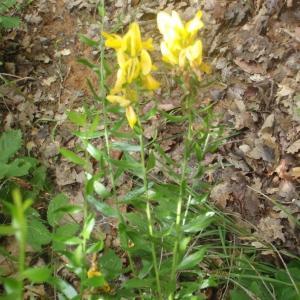 Photographie n°244961 du taxon Genista